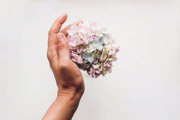Hand holding beautiful hydrangea flowers isolated on white, flat lay with space for text. Take care concept. Happy mothers day. Creative tender spring image. International Women's day. © sonyachny