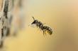 Leinwandbild Motiv Anfliegende Gemeine Löcherbiene
