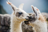 two lamas togetherness - 242979146