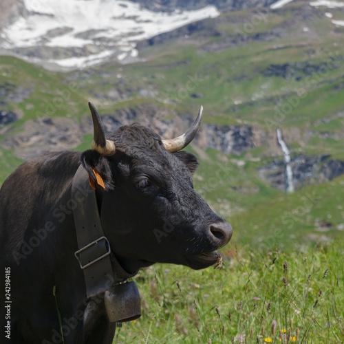 Cow on Alp land.