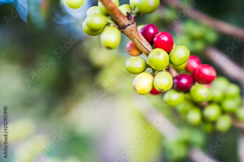 Foto Murales Close up raw coffee beans branches in garden