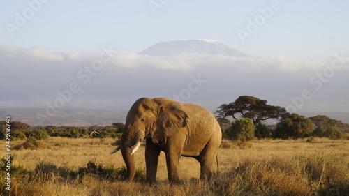 Kilimandscharo Elefant