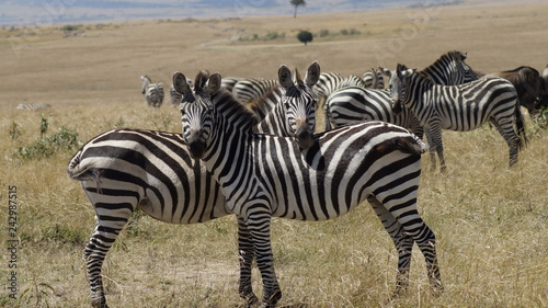 Zebras - 242987515