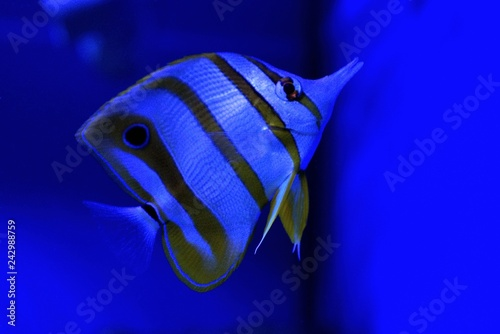 Leinwandbild Motiv big striped fish swimming in blue sea water