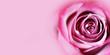 Pink rose flower background