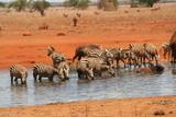 Fototapeta Fototapeta z zebrą - Zebras © pfyffy