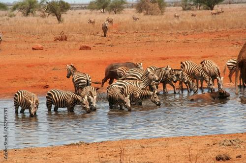 Zebras - 242995791