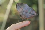 Beautiful butterfly Kallima Inachus(Orange Oakleaf) on finger