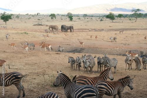 Zebras und Elefanten Safari