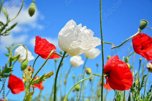 red poppies on background of blue sky - 243005955