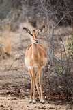 Female impala standing in the savannah. - 243007330