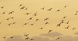 geese in autumn - vorpommern germany - 243013769