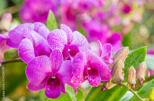 Beautiful purple orchids, Dendrobium.