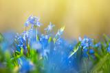 heap of beautiful closeup blue spring snowdrop flowers