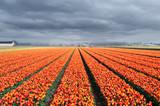 Fototapeta Tulipany - tulip field rows © Vaceslav Romanov