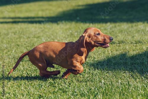 cute female of brown dachshund, purebred breeding dog in grass