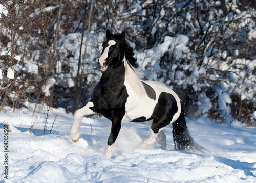 black and white paint irish cob or tinker runs free in winter meadow