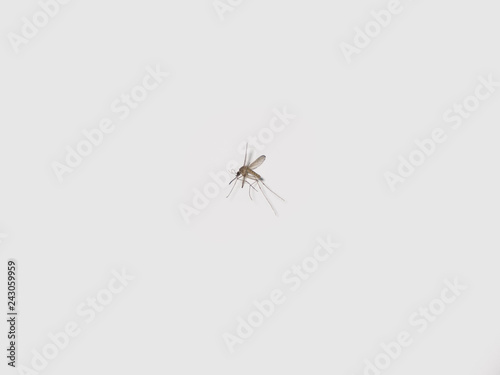 Dead mosquito insect on white background - 243059959