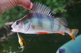 Perch caught on spinning. Fishing