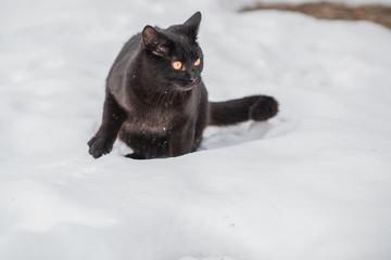 Black cat walk outdoor hunter cat , pet lifestyle