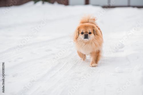Small golden dog walk outdoor , pet lifestyle