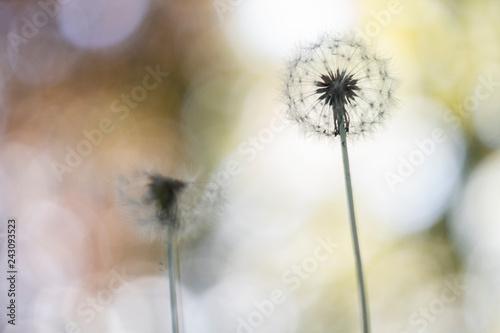 Faded Dandelions - Taraxacum officinale - 243093523