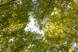 Yellow-green leaves on the branches of trees. Bottom view. - 243094159