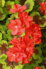 Géranium zonal rouge © hcast