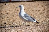 a slender-billed gull