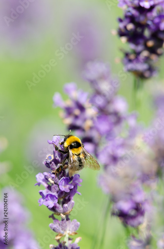 Beautiful lavender background - 243104764