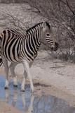 Fototapeta Sawanna - シマウマ(ナミビア・エトーシャ国立公園) © carrottomato