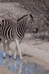 シマウマ(ナミビア・エトーシャ国立公園)