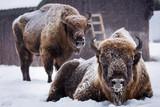 Bison or Aurochs in winter season in there habitat. Beautiful snowing - 243110322