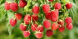 ripe raspberries in a garden