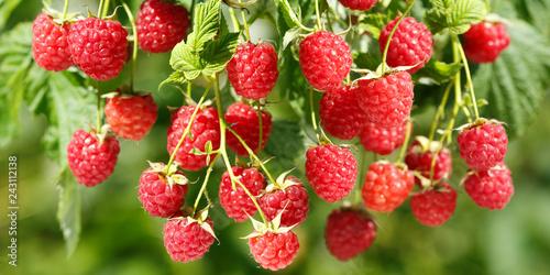 Foto Murales ripe raspberries in a garden