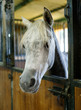 Well-groomed horse in stall at stable
