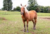 Cheval de race comtoise en pied - 243118584
