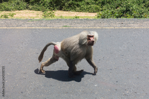 A baboon looking for food in Ethiopia, Africa.