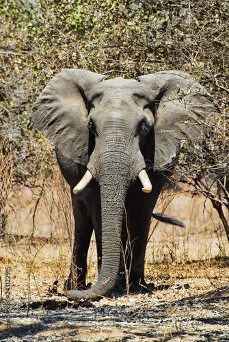Elefanten Bulle