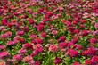 Close up pink chrysanthemum flower in the garden