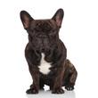 Leinwandbild Motiv adorable black french bulldog sitting