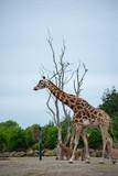 giraffe in africa - 243133543