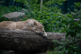 Lion mother sleep on top of a log