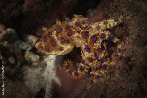 obraz lub plakat Bluering octopus (Hapalochlaena lunulata). Picture was taken in Lembeh strait, Indonesia