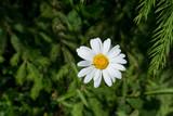 field daisy near the road