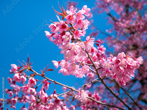 pink cherry blossom flower in spring time