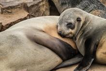 "Постер, картина, фотообои ""seals at cape cross seals reserve namibia africa"""