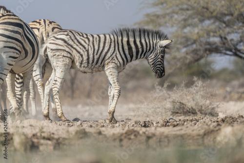 young giraffe - 243141364