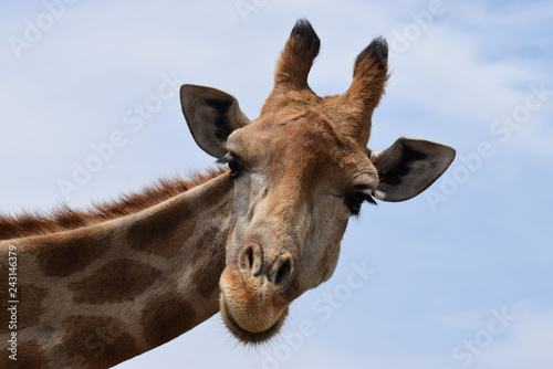 Giraffe looking at me