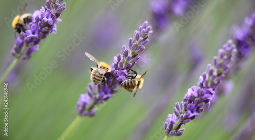 honey bees in lavender - 243146946